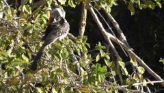Southern red-billed hornbill sitting on a bush and preening its feathers Stock Footage