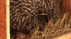 Hen hatched eggs, the crowing Stock Footage