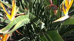 4k Bird-of-Paradise flowers in Madeira Stock Footage