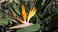 4k Bird-of-Paradise flowers closeup in Madeira 4k or 4k+ Resolution