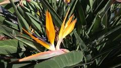 4k Bird-of-Paradise flowers closeup in Madeira Stock Footage