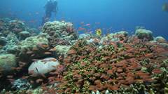 Coral reef alive with fish with scuba diver relaxing in the background Stock Footage