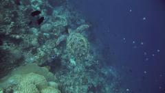 Overhead view of green sea turtle swimming along coral reef wall Stock Footage