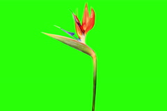 6K. Blooming Strelitzia flower buds green screen, Ultra HD. (Strelitzia reginae) Stock Footage