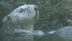 Southern Sea Otter 1 Stock Footage