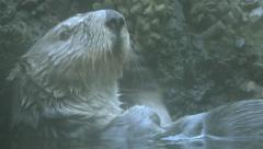 Southern Sea Otter 2 Stock Footage