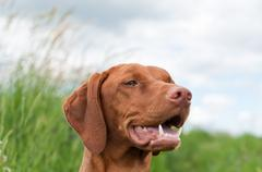 Vizsla Dog (Hungarian Pointer) Portrait - stock photo