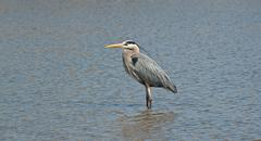 Great Blue Heron Wading in a Suburban Pond Stock Photos