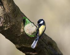 Great Tit (Parus major) Stock Photos