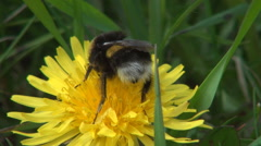 Black bumblebee fluffy collecting nectar and pollen. Closeup wild bee. Stock Footage