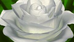 Rose Bloom - Spinning Loop - White on Green - 25 fps - stock footage