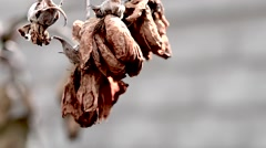 Old dry leaves swaying in the wind close-up Stock Footage