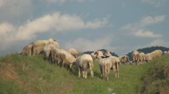 Young sheep playing on the field. A flock of sheep on the meadow. Mountain view. Stock Footage
