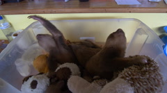 Baby sloths 3 Stock Footage