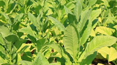Tobacco Farm Plants Of Thailand (two shot) Stock Footage