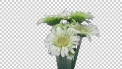 Time-lapse of growing and opening white gerbera flower with ALPHA Stock Footage