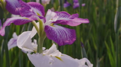 Iris Flowers blooming - stock footage