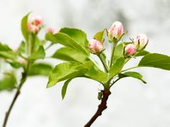 Pink and white apple tree buds - stock photo