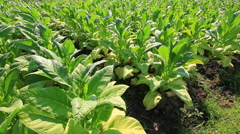 Tobacco Farm Plants Of Thailand (pan shot) Stock Footage