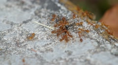 Weaver ants and black ant Stock Footage