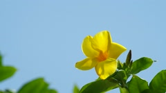 Golden trumpet flower is shaking with the wind Stock Footage