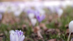 Spring flowers krokus 2015 Stock Footage