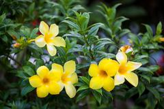 Group of yellow allamanda flowers - stock photo