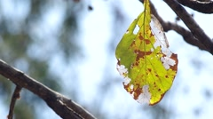Dry senescence leaf on tree Stock Footage