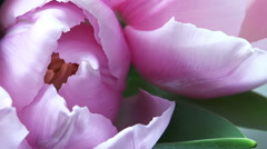 Close-up View of Pink Tulips with place for Your text in the End, Moving Camera. Stock Footage