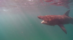 Basking shark lampries atached  Stock Footage