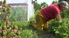 Black dewberry berry and farmer woman weed strawberry plants Stock Footage