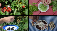 Harvesting berries and legume peas and beans in garden. Collage Stock Footage