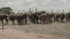 Africa walking cows big horns Stock Footage