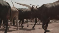 Africa walking sheeps and cows big horns Stock Footage