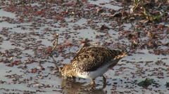 A beautiful wading bird-painted snipe looking for food Stock Footage
