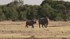 A black rhino and a baby Stock Footage