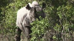 A black rhino hiding in the bush Stock Footage