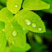 Closeup of green leaves rose with raindrops in nature Stock Photos
