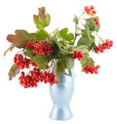 rowan, rowanberry, rowan-tree, sorb, wild ash, viburnum, guelder rose - stock photo