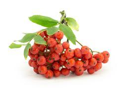 Rowan, rowanberry, rowan-tree, sorb, wild ash, viburnum, guelder rose Stock Photos