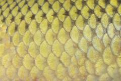 Fish scales Stock Photos