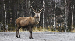 Scottish red deer stag Stock Footage