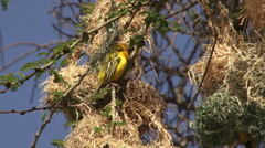 A male weaver guarding his new nest Stock Footage