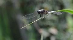 Dragonfly, Libelulla fulva , male,  odonata, anisoptera, Stock Footage