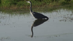 A reflection of black headed heron Stock Footage