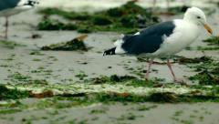 Seagull looking for food in green algae Stock Footage