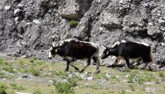 Herd of Tibetan yak  walking through the landscape Stock Footage