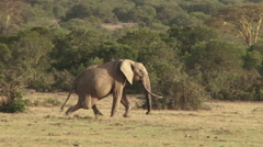 A tracking shot of a deformed elephant limping across the camera Stock Footage