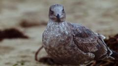 Great skua. gray bird on the beach Stock Footage