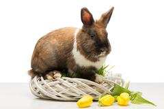 Brown bunny on wicker box and tulips Stock Photos